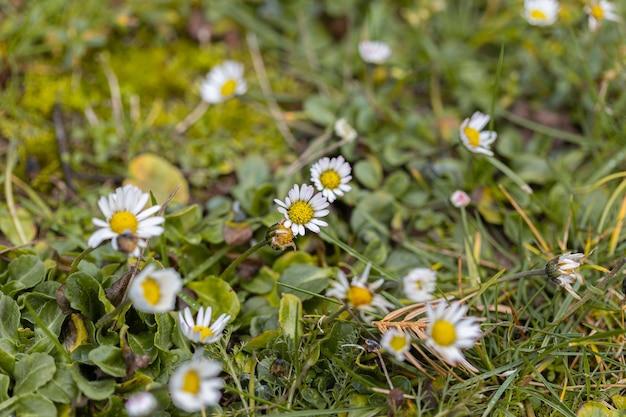 Close-up van madeliefjes op een gebied dat in het gras onder het zonlicht wordt behandeld