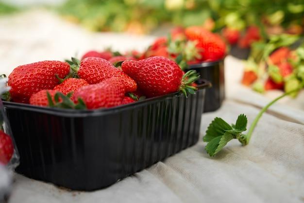 Close up van manden met verse aardbeien te koop op boerenmarkt. concept proces dat mooie bessen voorbereidt voor verkoop in moderne serre.