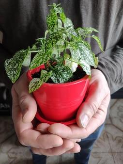 Close-up van mannelijke handen die een rode pot met groene houseplant houden