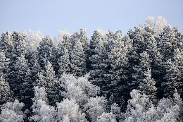 Close-up van met sneeuw bedekte toppen van sparren onder sneeuwval tegen de achtergrond van een wit ijzig bos