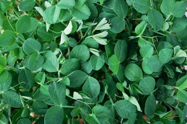 Close-up van microgreen erwten