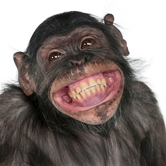 Close-up van mixedbreed aap tussen chimpansee en bonobo glimlachendbo