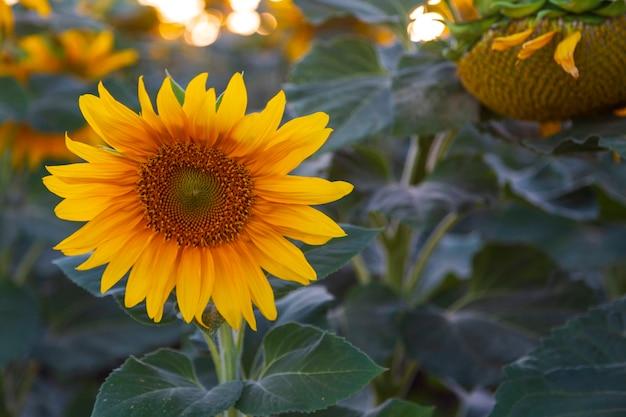 Close-up van mooie bloeiende zonnebloem. helder gele bloemblaadjes groene bladeren plant zonnige dag zomer landschap, boeren veld achtergrond. boerderij veld idyllische scène in het warme zonlicht in israël in