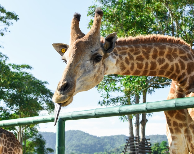 Close-up van mooie giraf die tong toont.