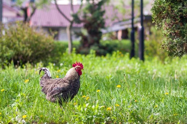 Close-up van mooie grote volwassen grijze kip staande in hoog vers gras op heldere zonnige wazig groene zomer achtergrond. kippenhouderij, ecologisch schoon gezond voedsel, vlees en eierenproductieconcept.