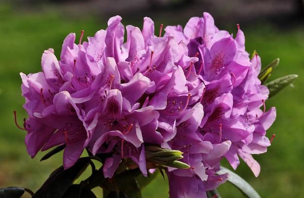 Close-up van mooie rhododendron-bloemen die in het park bloeien