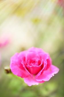 Close-up van mooie rode rozen stuifmeel in tuin buiten met ochtendzonlicht, selectieve aandacht