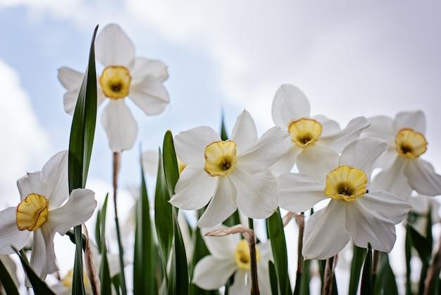 Close-up van narcissenbloemen vanuit de lagere invalshoek