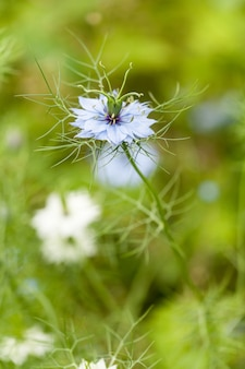 Close-up van nigella-damascinabloem,