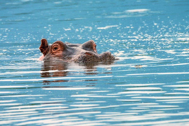 Close-up van nijlpaard in water