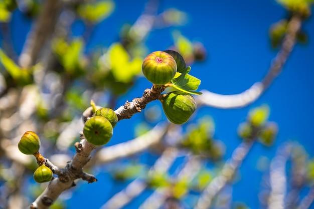 Close-up van onrijpe vijgenvruchten op een boomtak, onderaanzicht