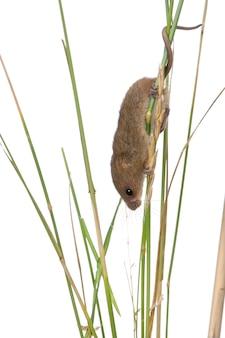 Close-up van oogstmuis, micromys-minutus, die op grassprietje beklimmen