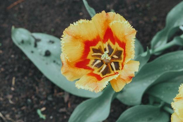 Close-up van oranje en gele tulp bloemen met groene bladeren in het park of de tuin buiten. prachtige lente bloesem onder zonlicht in de tuin en de natuur