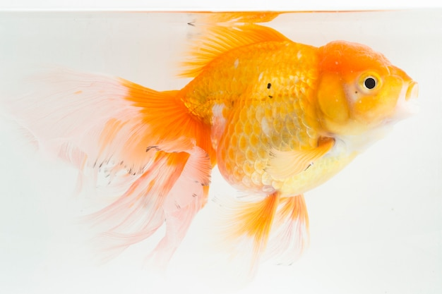 Close-up van oranje oranda-goudvis