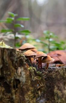 Close-up van paddenstoelen omgeven door groen mos op een omgevallen boom. kuehner myces mut bilis.