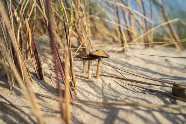 Close-up van paddestoelen in het zand, omgeven door gras onder zonlicht