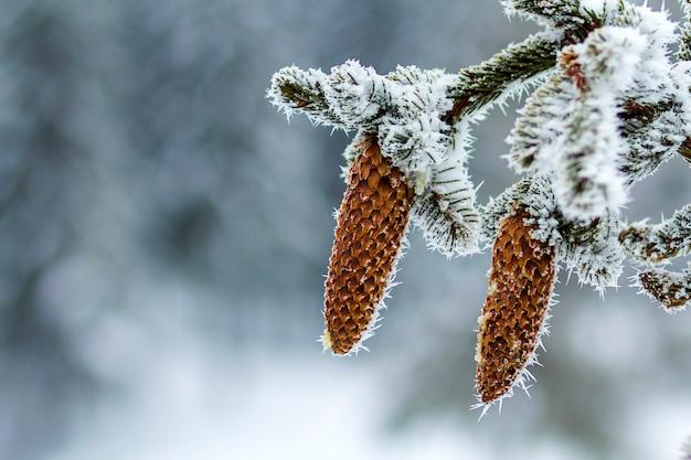 Close-up van pijnboomboomkegels in de winter met witte sneeuw en vorst wordt behandeld die