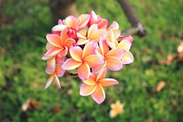 Close-up van plumeria bloemen