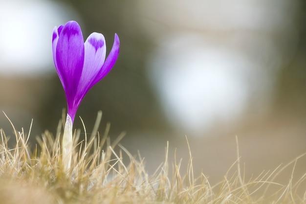 Close-up van prachtig bloeiende heldere violette krokus die zich trots alleen in droog gras bevinden, die ochtendzon ontmoeten in karpatische bergen. bescherming van aard en schoonheid van het levensconcept.