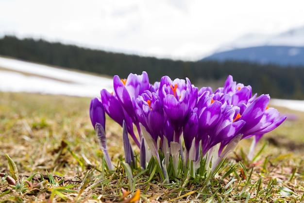 Close-up van prachtige bloeiende violet krokussen in de vallei van de karpaten op heldere lente ochtend. bescherming van de natuur en schoonheid van het leven concept.