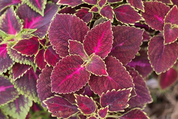 Close-up van prachtige coleus planten bovenaanzichten
