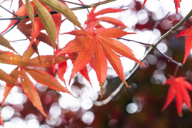 Close up van prachtige esdoorn bladeren in zonnige herfstdag in taiwan zonder mensen kopiëren ruimte.