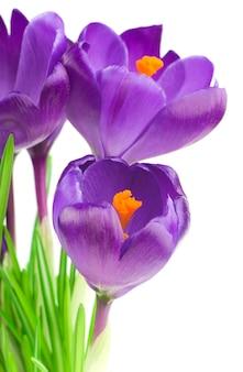 Close-up van prachtige krokus op witte muur - verse lentebloemen. violet crocus bloemen boeket. (selectieve focus)