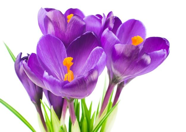 Close-up van prachtige krokus op witte muur - verse lentebloemen. violet crocus bloemen boeket.