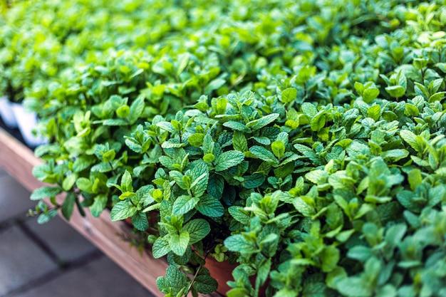 Close up van prachtige muntplanten te koop in een tuincentrum