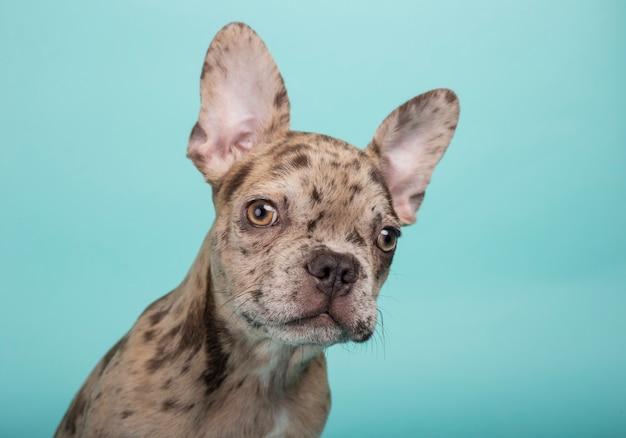 Close-up van puppy van de 3 maand het oude franse buldog op turkooise groene achtergrond