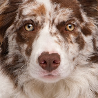 Close-up van red merle border collie, 6 maanden oud,