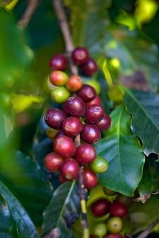 Close-up van rijpe koffiebonen op de boom