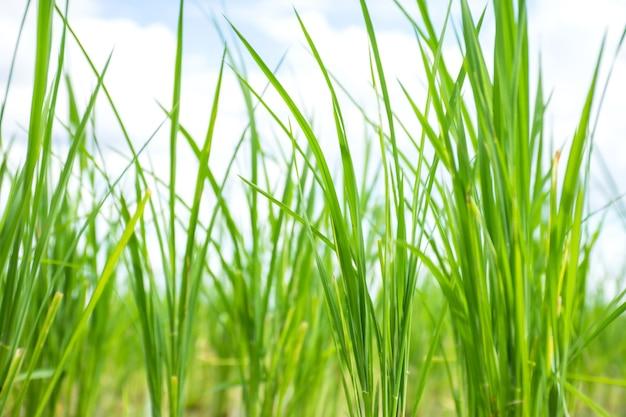Close up van rijst spruiten plantengroei in rijstveld.