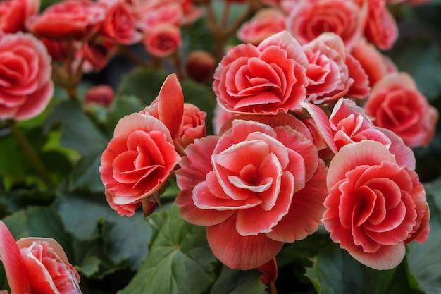 Close-up van rode bloemen in een tuin