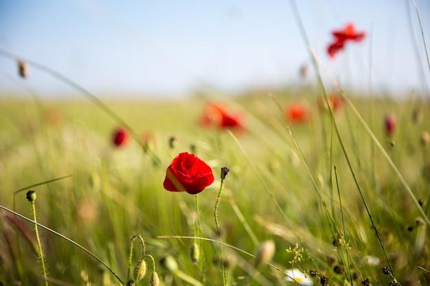 Close-up van rode klaprozen in het veld