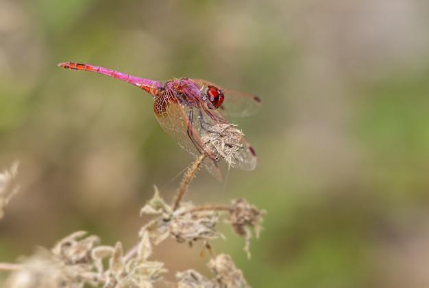 Close up van rode libel op plant