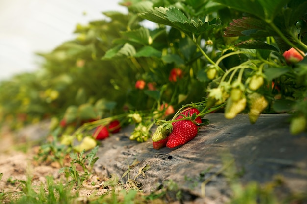 Close up van rode rijpe biologische aardbeien op de plant in moderne kas. concept van heerlijke verse bessen groeien in de tuin op de struik.