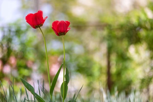 Close-up van rode tulpenbloemen die in de lentetuin in openlucht bloeien.