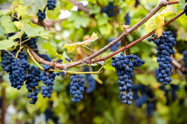 Close-up van rode zwarte tros pinot noir-druiven die groeien in de wijngaard met een wazige achtergrond en kopieerruimte. oogsten in het wijngaardenconcept.