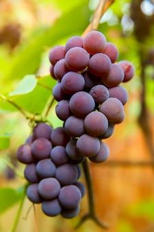 Close-up van rode zwarte trossen pinot noir-druiven die in de wijngaard groeien met een wazige achtergrond en kopieerruimte. oogsten in het wijngaardenconcept.