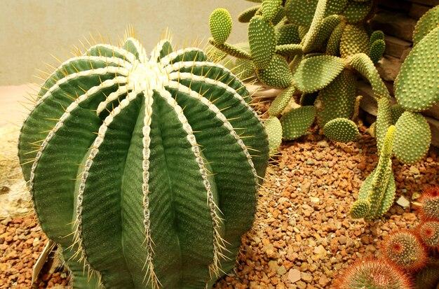 Close-up van ronde cactus of succulente groene plant