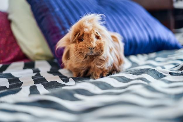 Close-up van roodharige en langharige cavia op bed thuis.