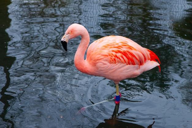 Close-up van roze flamingo's, vogels op een donker water