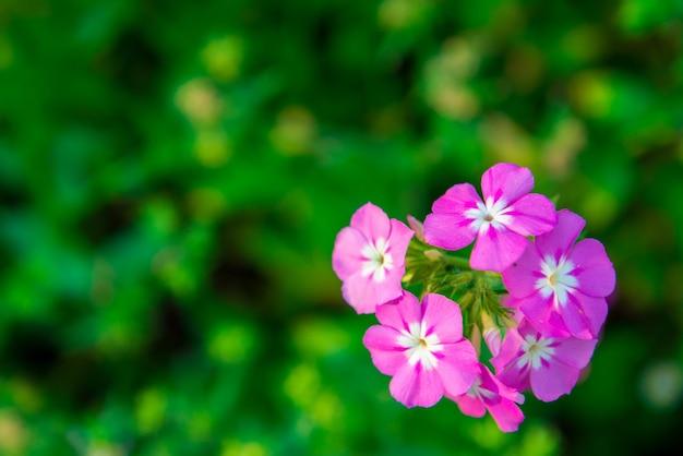 Close-up van roze geranium bloemen in de tuin. mooie bloeiwijze