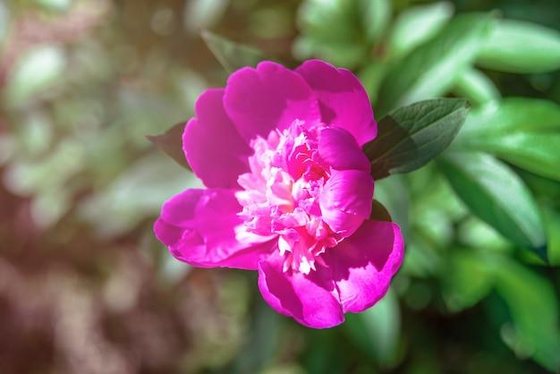 Close-up van roze peonie-bloem.