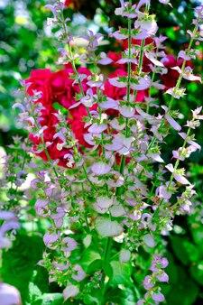 Close up van roze salie bloemen tijdens het douchen.