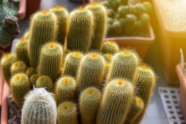 Close-up van sappige cactusplant in de kastuin