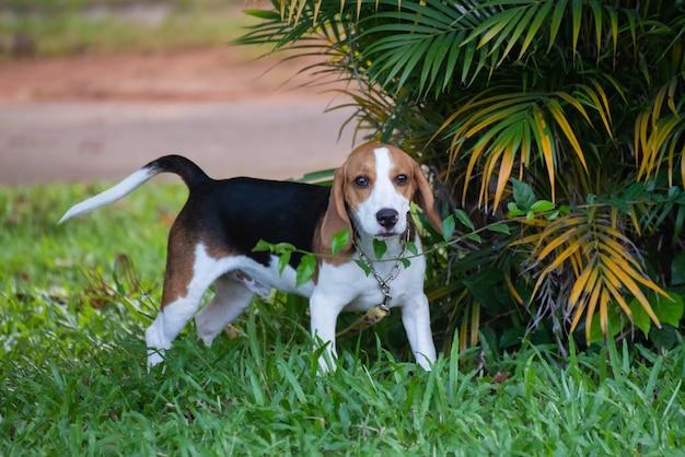 Close-up van schattige jonge beagle spelen in veld