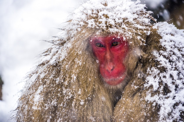 Close-up van sneeuw apen (japanse makaken) rillingen en knuffel met baby aap en familie