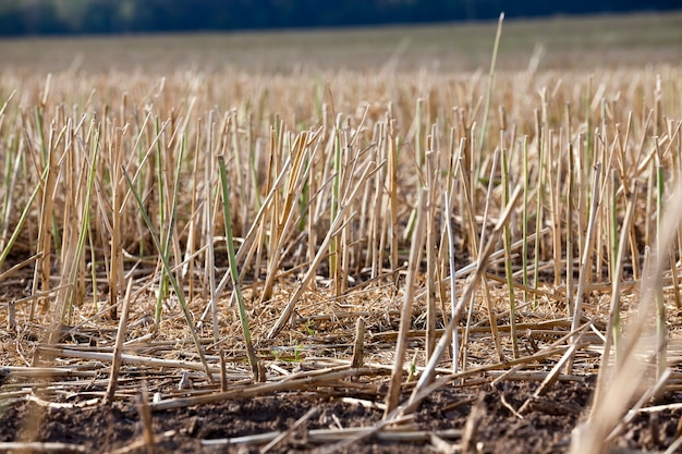 Close-up van stro na de tarweoogst, een landbouwgebied waar tarwestro in stapels wordt verzameld voor gebruik bij de activiteiten van boeren en landbouwbedrijven